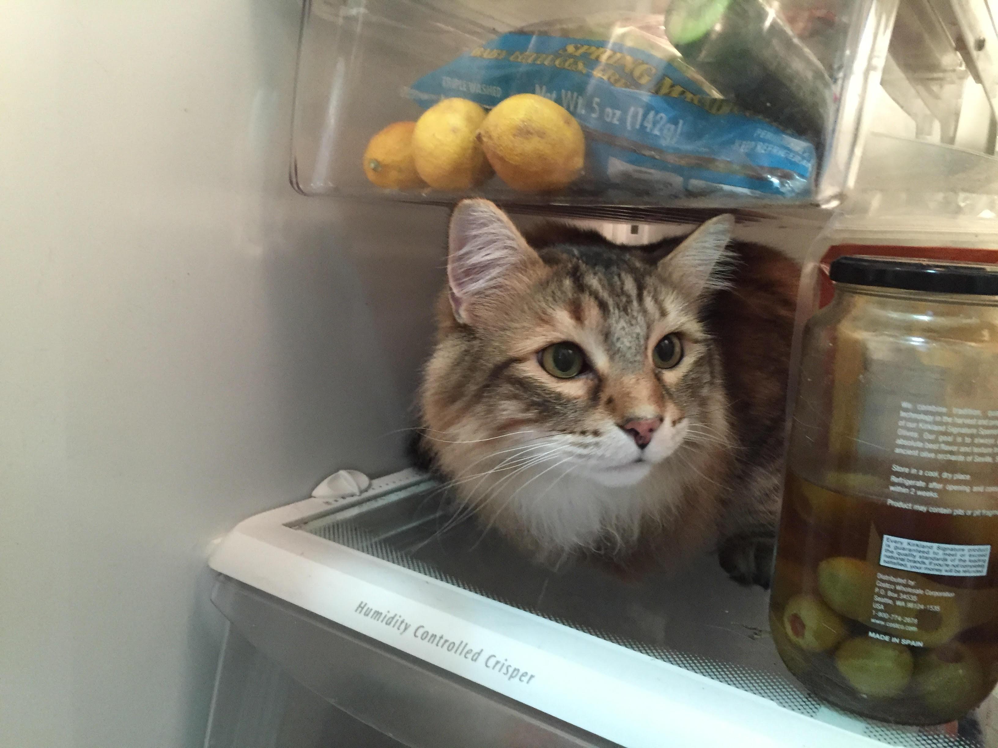 Fridgecat